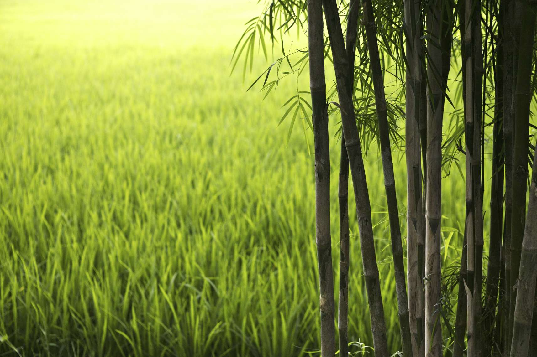 Rice field behind bamboo, Bali/Steve Mason Photography